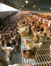 Uso del bicarbonato de sodio en la alimentación de pollos