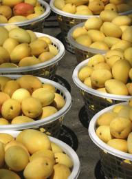 Mosca mediterránea afecta fruta dominicana