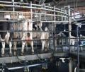 Acelere la producción lechera con fertilizantes químicos
